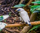 Closeup Of A Bali Myna Starling Sitting On A Branch, Tropical Critically Endangered Bird Specie From poster