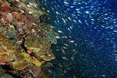 Coral Reef Wall And Schooling Fish. South Ari Atoll, Maldives poster
