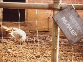 A Warning Sign At The Pig Enclosure With Two Adult Pigs Resting In Mud Next To Each Other. Taken Off poster