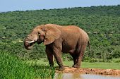 Elephant Drinking Water At Harpoor Dam, Addo National Park, South Africa