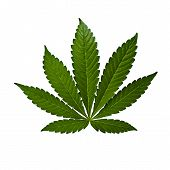 stock photo of medical marijuana  - A marijuana leaf isolated on a white background - JPG