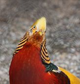 Golden Pheasant-Chrysolophus pictus isolated on a white background