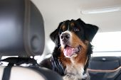 Purebred Dog Breed Sennenhund Rides In The Car. Transportation Of Large Animals. Bernese Mountain Do poster