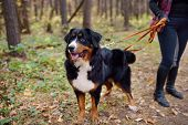 Purebred Dog Breed Sennenhund With Owner Is Walking In Forest On Autumn Day. Breeding And Maintenanc poster