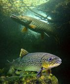 The brown trout (Salmo trutta) and a big pike (Esox lucius) in a mountain lake. Close up with shallo