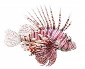 Tropical fish - The Red Lionfish (Pterois volitans) is very dangerous coral reef fish. Lionfish veno
