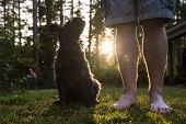 Shaggy Schnauzer Obediently Sits Next To His Masters Feet And Stares At Him Intently, At Sunset, On poster