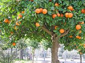 Sour Orange Tree