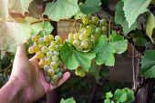 Hand Holds A Large Cluster Of Grapes Grapes During Harvest. Retro Style Ripe White Grape Harvest poster