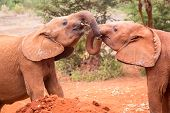 Two Small Baby Elephants Playing At Elephant Orphanage In Nairobi, Kenya, Africa. poster