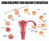 Human Development From Ovulation To Implantation
