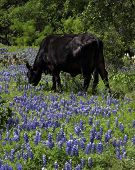 Black Cow in the Bluebonnets