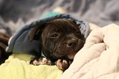 Cute Young 6 Week Old Staffordshire Terrior Pups Playing In Their Family Backyard, Sleeping And Rest poster