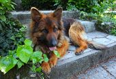 pic of german-sheperd  - portrait of young german shepard - JPG
