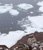 Möwe Küchlein auf dem Felsen mit Eisberg Hintergrund, Franz-Josef-land