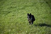 Border Collie Waiting For Herding Instructions In A Grass Pasture. poster