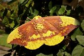 Imperial Moth, Eacles imperialis, male