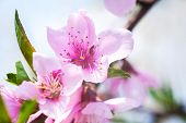 Close Up Of The Blooming Branch Of The Fruit Tree. Peach Blossoms Blooming On Peach Trees. Beautiful poster