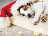 Sleeping dog in christmas hat. Puppy on pillow at home poster