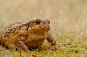 European Common Toad, Background Color Animals Wildlife poster