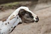 A farm theme: Shorn sheep