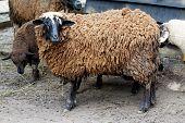 A farm theme: Dark sheep