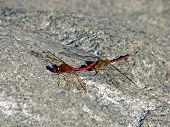 stock photo of copulation  - Two red dragonfly copulating on a gray stone - JPG