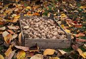 Top View Of A Wooden Box With Collected Walnuts. Walnuts Are The Fruits Of Any Tree From The Genus J poster