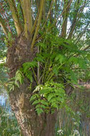 picture of epiphyte  - Details of an epiphytic fern growing on a willow in the Dutch National Park De Biesbosch Norht - JPG
