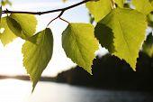 Birke Leafes
