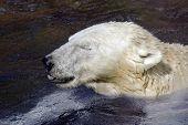Urso polar ou Polar