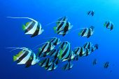 Tropical Fish: Schooling Bannerfish underwater in the blue water of the Red Sea