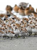 Shorebirds in a Crowd
