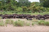 stock photo of cape buffalo  - Herd of cape buffalo on river bank resting many black - JPG
