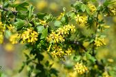Flowers of golden currant