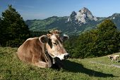 Swiss Cow In Background Is Big Mountains