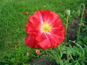Crimson double poppy flower