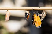 stock photo of stick-bugs  - Close up of newly emerged Plain Tiger butterfly - JPG