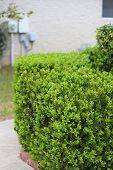 Boxwood Bush