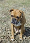 Boxer breed dog is sitting on the ground and looking for something