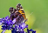 amerikanische Lady Butterfly (Vanessa Virginiensis)
