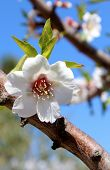Blossom auf Sweet Almond Tree (Arten: Prunus Amygdalus, Syn. Prunus Dulcis)