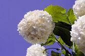 snowball blossom