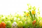 stock photo of egg whites  - Easter eggs hiding in the grass with daffodil - JPG