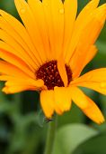 Pot Marigold (calendula Officinalis)