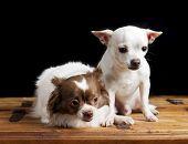 Cute Chihuahua Pair poster