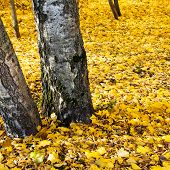 Autumn Leaf Litter Under Birch Trees