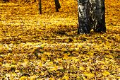 Yellow Autumn Leaves Under Birch Trees