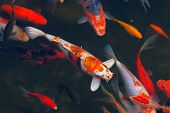 stock photo of koi fish  - Koi Carps Fish Japanese swimming (Cyprinus carpio) beautiful color variations natural organic