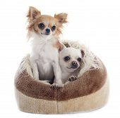 Chihuahuas In Dog Bed